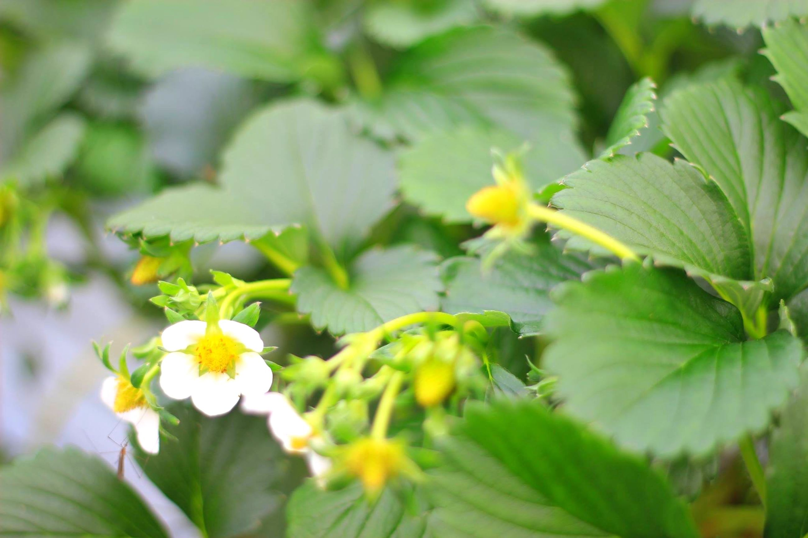 flower, freshness, growth, petal, fragility, leaf, flower head, beauty in nature, focus on foreground, blooming, plant, nature, close-up, yellow, green color, white color, in bloom, outdoors, park - man made space, day