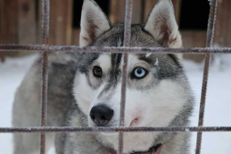 the husky with different eyes Eyes Different Eye Color Close-up Husky Pets Portrait Trapped Dog Looking At Camera Cold Temperature Cage Winter Pleading My Best Photo