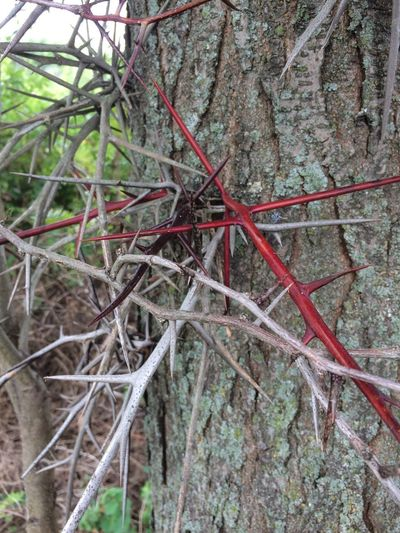 close up of honey locust thorns Bark Background Texture Beauty In Nature Branch Close-up Complexity Day Forest Gleditsia Triacanthos Growth Honey Locust Land Leaf Moss Nature No People Outdoors Plant Plant Part Red Selective Focus Thorns Thorny Locust Tranquility Tree
