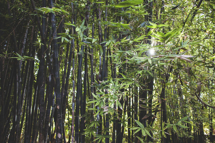 Close-up of bamboo plants growing in forest