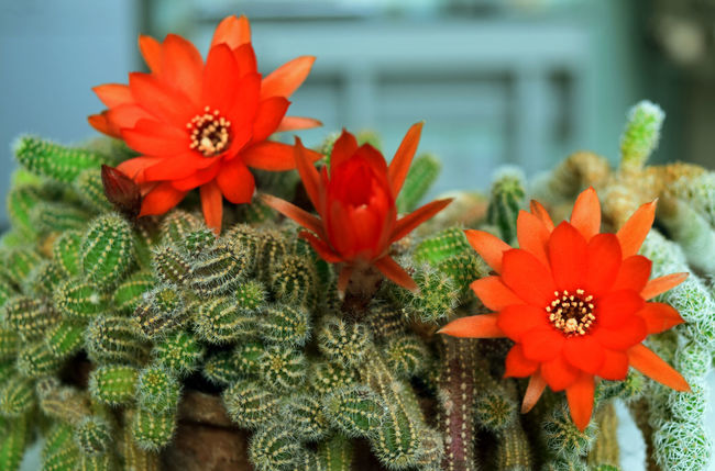 Beauty In Nature Blooming Cactus Cactus Flower Close-up Day Flower Flower Head Focus On Foreground Fragility Freshness Growth Nature No People Outdoors Petal Plant Red Flowers Succulent Plant Succulents