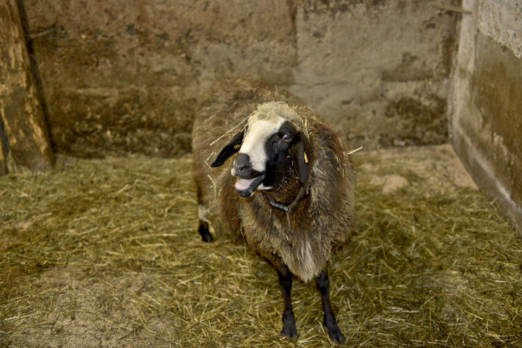 One Animal Mammal Domestic Pets Domestic Animals Vertebrate No People Day Standing Looking Portrait Focus On Foreground High Angle View Sheep Barn Indoors  Ewe Stall Hay