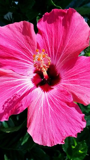 Color/Hibiscus Color Pink Hotpink Bright Bright Colors Flower Hibiscus Fragility Flower Head Nature Freshness Growth Shadow Sunlight And Shadow Petals Openup Textured  No People Nature Outdoors Floral Garden Garden Photography Beautiful Beauty In Nature