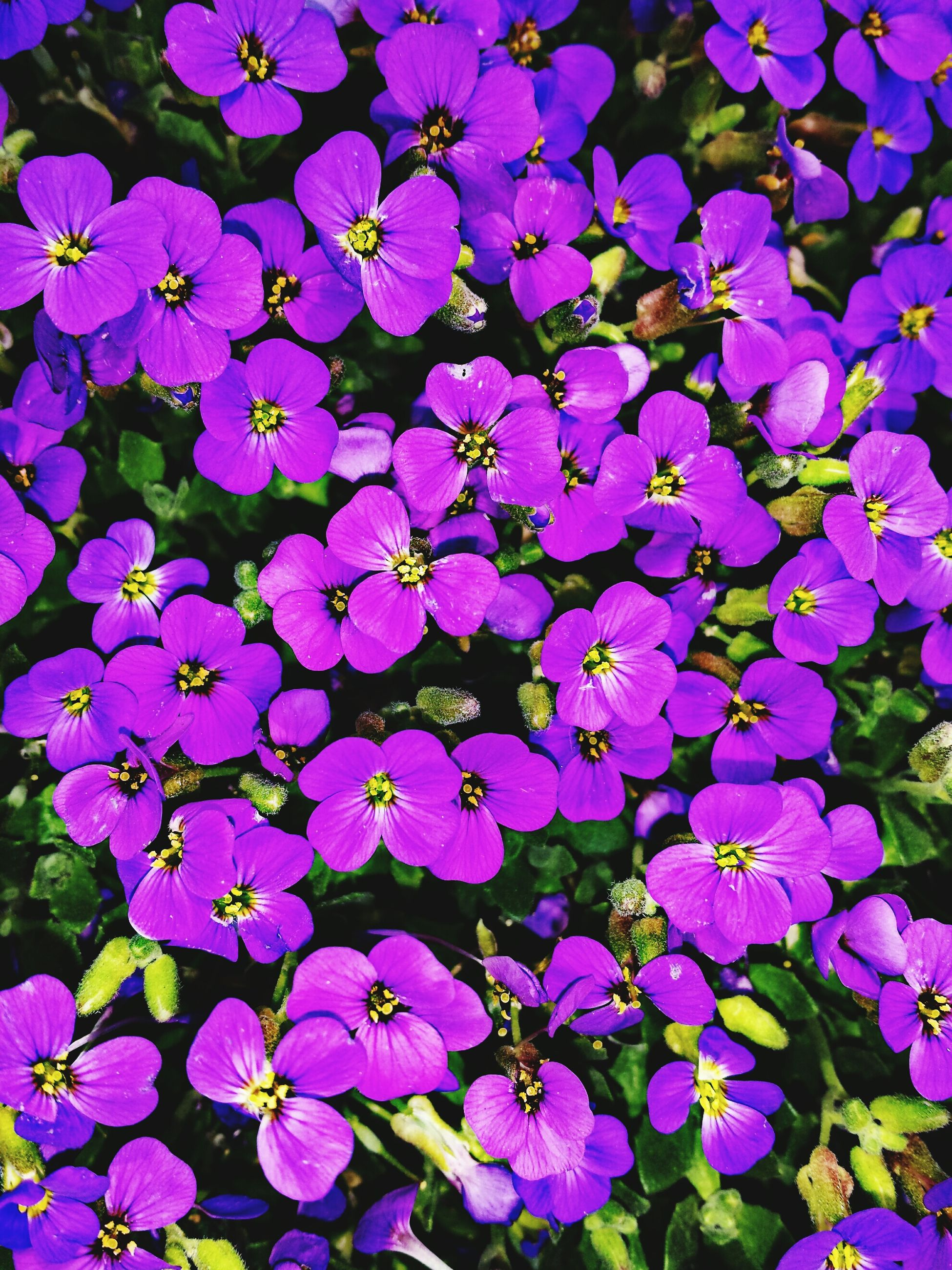 flower, purple, freshness, fragility, petal, growth, beauty in nature, blooming, flower head, plant, full frame, nature, backgrounds, close-up, high angle view, park - man made space, in bloom, blue, outdoors, no people