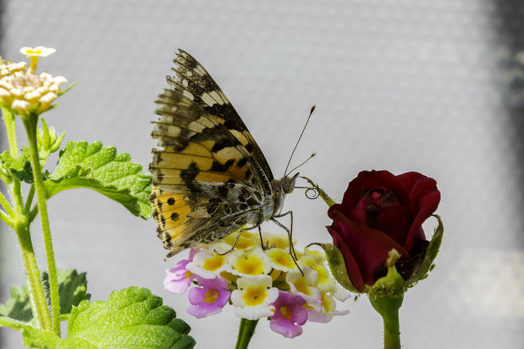 Butterfly posing Flower Flowering Plant Beauty In Nature Fragility Petal Animal Wildlife Vulnerability  Animal Themes Plant Animal Invertebrate One Animal Animals In The Wild Insect Flower Head Freshness Animal Wing Butterfly - Insect Inflorescence Close-up Pollination No People Outdoors Lantana