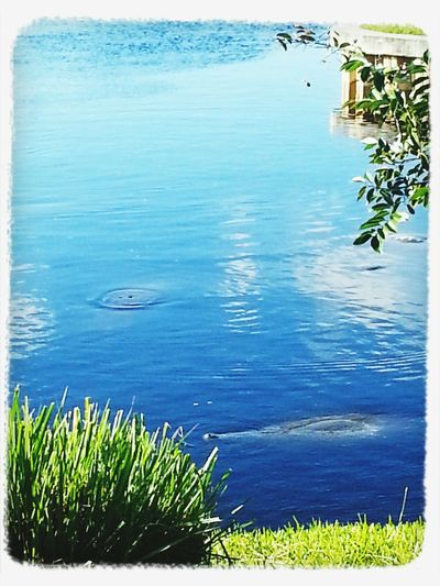 Vaccation Manatee At The Park . Mantees in the wild. A bit shy and a bit hard to get a picture of. Manatee Park