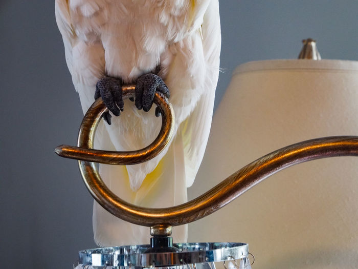 Clara the cockatoo Cockatoo Animal Themes Bird Brass Close-up Day Exotic Pets Gold Gold Colored Indoors  Lamp Letter E No People Parrot Perching Bird White Color First Eyeem Photo