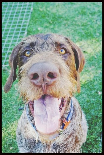 Kiss me.. Kiss me.. Kiss me.. I Love My Dog Cheese! Hello World German Wirehaired Pointer