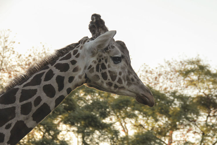 Animal Animal Themes Animal Wildlife One Animal Giraffe Mammal Animal Neck Animal Body Part Animals In The Wild Vertebrate Nature Day Tree Domestic Animals Low Angle View Focus On Foreground Sky Animal Markings Animal Head  Herbivorous No People Outdoors Profile View