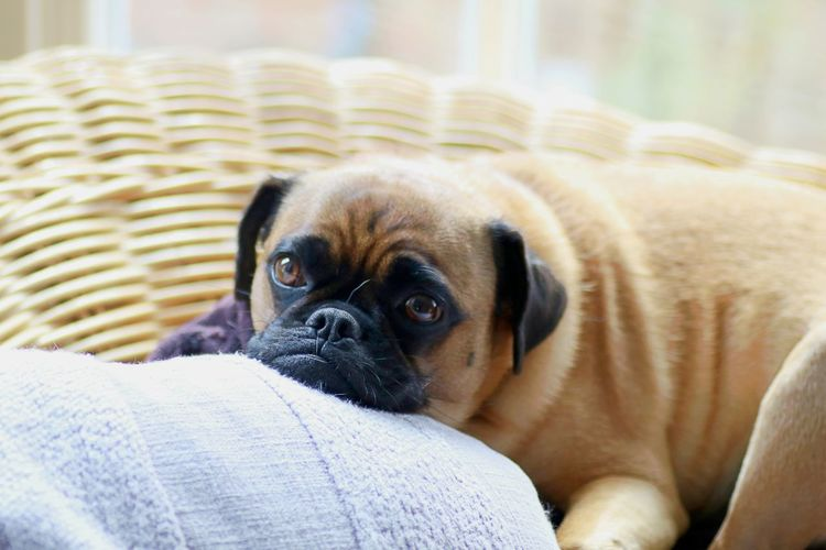Close-Up Portrait Of Pug Resting On Seat At Home