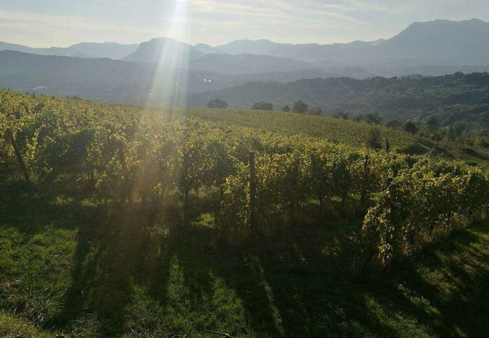 Irpinia Italy Italia Avellino Vineyard Vinyards Vineyard View Vineyard Rows Nature Sunbeam Beauty In Nature Landscape Sunlight Growth Agriculture Rural Scene Mountain Plant Outdoors No People Day Hills Rolling Hills Rolling Landscape Rolling Hills Under Blue Skys
