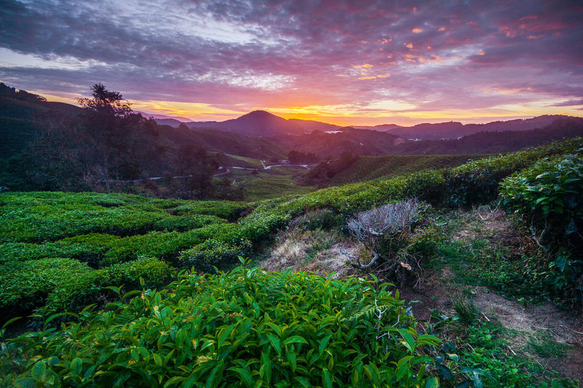 Amazing landscape view of tea plantation in sunset/sunrise time. Nature background with blue and burning sky and foggy. Cameron Highlands EyeEm Best Shots EyeEm Nature Lover EyeEm Selects EyeEm Gallery EyeEmNewHere Landscape Photography Nature Photography Pahang, Malaysia Art Of Nature Beauty In Nature Blue Sky Day Eye4photography  Growth Landscape Nature No People Outdoors Scenics Sky Sunrise Tranquil Scene Tranquility Tree