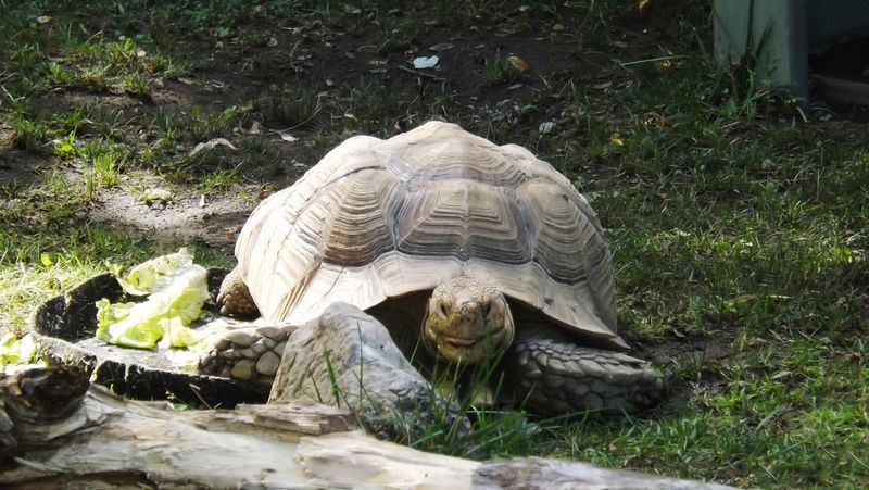 ZOO-PHOTO Zoo Animals  Tortoise Tortoiselife Tortoises Tortoise! Tortoisepose Reptilecollection Reptilelife Reptile