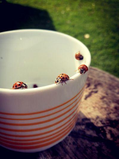 Nature Close-up Autumn Outdoors Mug Of Ladybugs Ladybug Escape Slovakia Nature