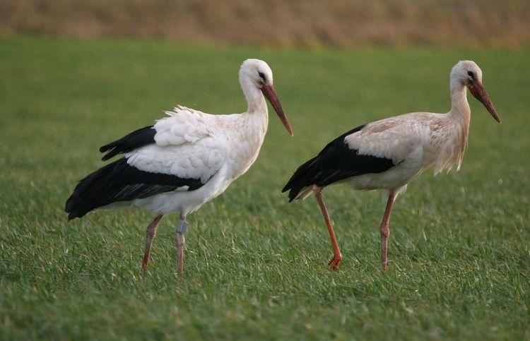 Animal Themes Animals In The Wild Bird No People Storch Storchenpaar Stork Storks Störche Togetherness Two Animals Wildlife Zoology