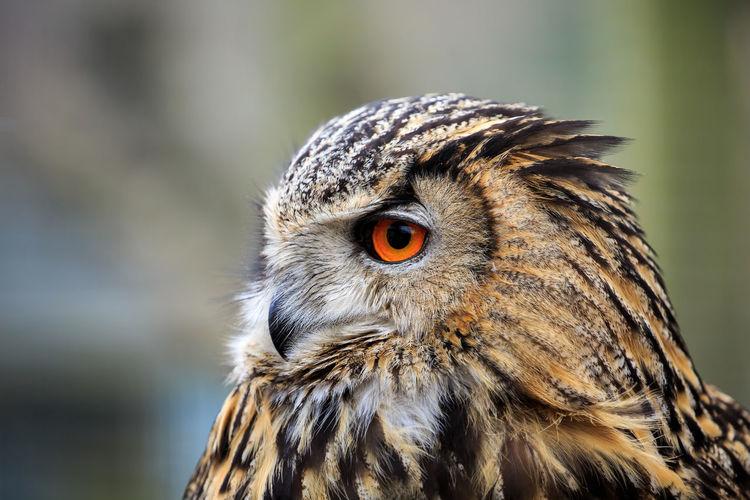 An eurasian eagle owl