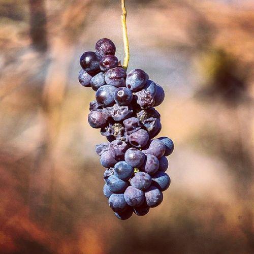 Vineyard , Wine , Grape , Valpolicella , produzionepropria, www.produzionepropria.com