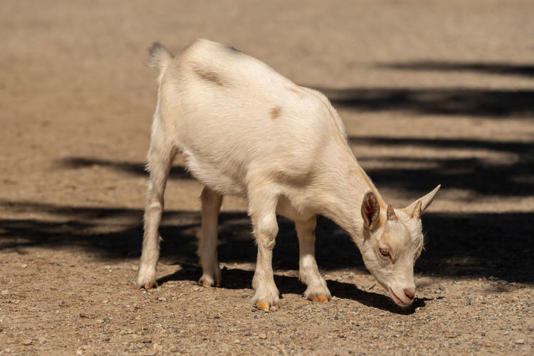 Adorable Agriculture Animal Baby Beautiful Beauty Bio Nature Cute Domestic Farm Farm Animals Farming Funny Fur Goat Goats Head Happy Happy Livestock Little Little Lambs Livestock Looking Mammal Nature Nature Natural Organic Milk Outdoor Pasture Pet Portrait Portrait Pretty Rural Small Spring Springtime Summer Sweet White Young