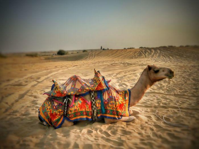 EyeEm Selects Camel Sand Sand Dune Desert Outdoors Travel Destinations Mammal Heat - Temperatureat Sanddunes Jaisalmer Sunset Point Sand Dunes Thar Maru Bhumi Jaisalmer