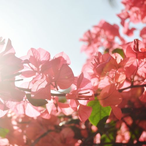 Flower Pink Color Plant Petal Beauty In Nature Nature Blossom Fragility Growth Freshness Flower Head No People Springtime Outdoors Sky Day Close-up Leaf Branch Tree