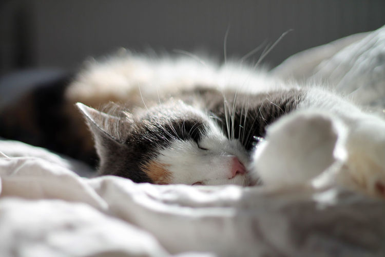 Animal Themes Bed Bedroom Close-up Day Domestic Animals Domestic Cat Feline Indoors  Lying Down Mammal No People One Animal Pets Tabby Cat