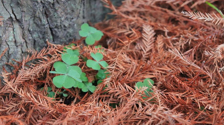 Nature's Diversities Tree Trebol Green Brown