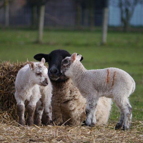 Lamb family