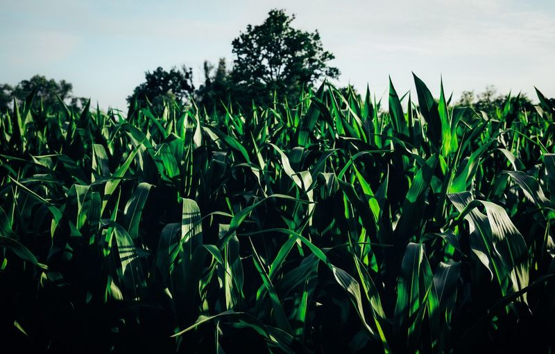 Popcorn Plantage ... Growth Plant Green Color Field Sky Land Agriculture Nature Crop  Rural Scene Beauty In Nature Tranquility Landscape Cereal Plant Corn No People Day Farm Plant Part Outdoors Plantation The Great Outdoors - 2019 EyeEm Awards