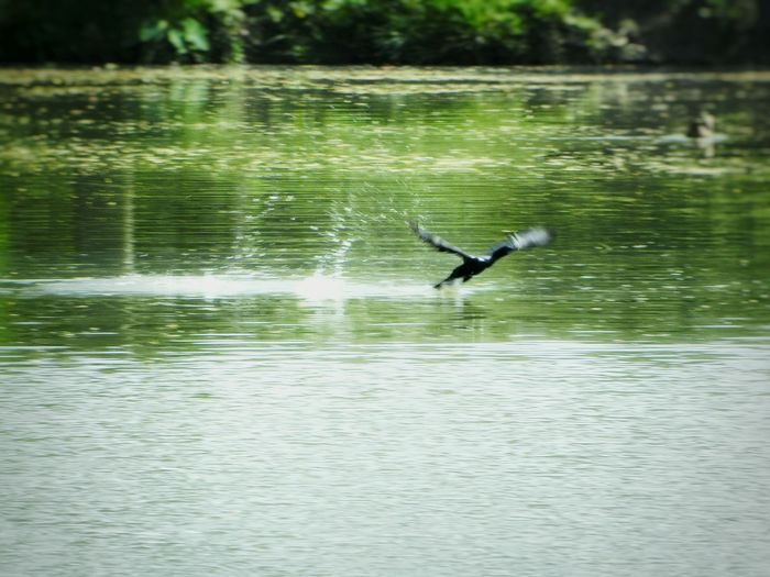 NikonCoolpixL120 Photography last summer. (Little Black Cormodant Bird) The Birds Series Birds Of EyeEm  Water Splash Bird Watching Surface Blur Little Black Cormorant Light Reflecting On Surface Flying Away After Preying Fish Fly Away Flying Bird Creative Light Negetive Space Adventures Beyond The Ultraworld Water Surface Whiteness White Album Nature On Your Doorstep Feel The Journey Close Up Photography Shades Of Blue Creative Photography Still Life Me, My Camera And I Beauty In Nature Learn & Shoot: Single Light Source