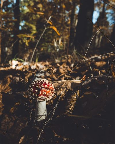 Fly Agaric Mushroom Growing On Field At Forest