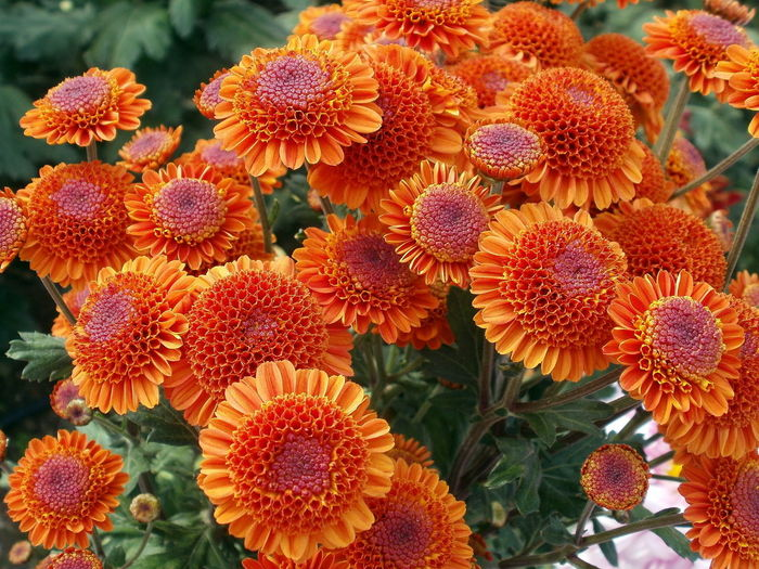 Flowering Plant Flower Plant Freshness Flower Head Growth Close-up Inflorescence Vulnerability  Beauty In Nature Fragility Petal No People Day Nature Red Botany Focus On Foreground Outdoors Orange Color Pollen Lychee Chrysanthemum Chrysanthemum Flower EyeEm Best Shots