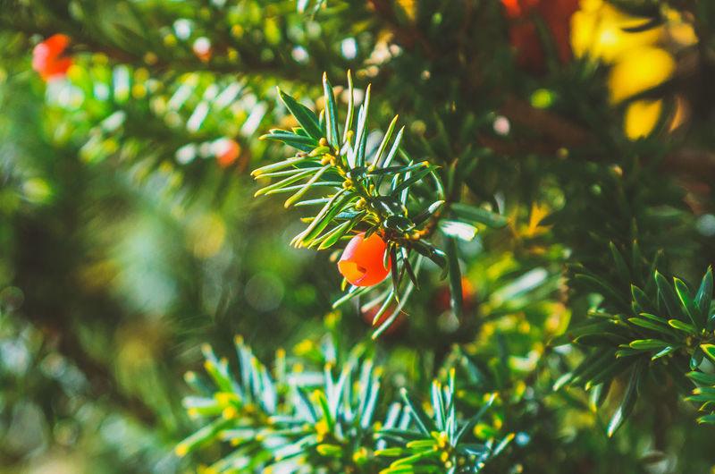 Close-up of orange berries on tree