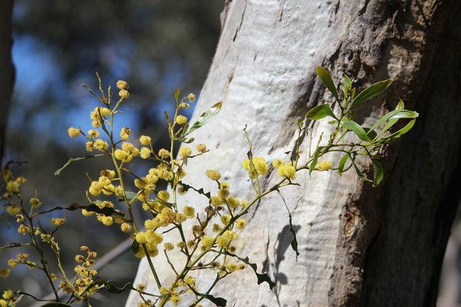 Wattle Flower Gum Tree Aussie EyeEm Selects Tree Branch Flower Tree Trunk Close-up Plant Landscape Pollen