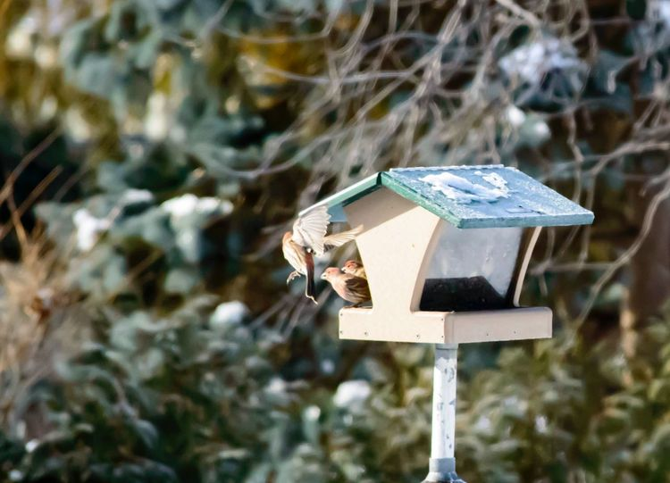 Focus On Foreground Birdhouse Outdoors No People Day Close-up Nature Carpodacus Mexicanus House Finch Red Flying Wings Winter Background Avian Collection