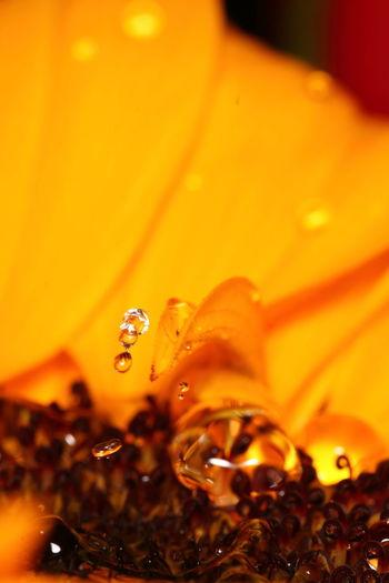 Freshness Rain Sigma Yellow Flower Close-up Drop Macro Petals🌸 Ringflash Studio Photography Studio Shot Water