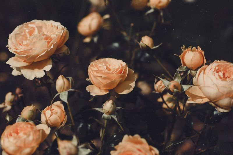 Close-Up Of Roses Blooming Outdoors