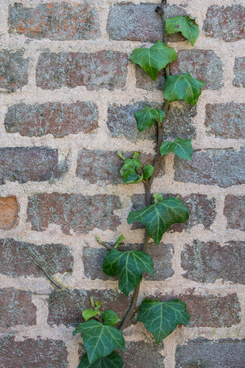 leaf, plant part, wall - building feature, wall, plant, brick, green color, brick wall, built structure, growth, architecture, no people, nature, ivy, day, close-up, outdoors, creeper plant, beauty in nature, pattern, leaves, concrete