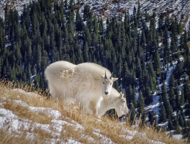 Two mountain goats in the Rocky Mountains. Alpine Animal Behavior Animal Themes Beauty In Nature Cold Temperature Goats Grazing Mammal Mountain Mountain Goats Nature No People Outdoors Scenics Season  Snow Wildlife Zoology