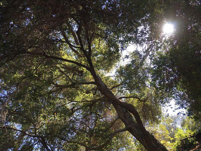 100 Year Old Oak Tree Nature Oak Tree Oak Tree In The Sunlight Oak 100 Year Old Oak