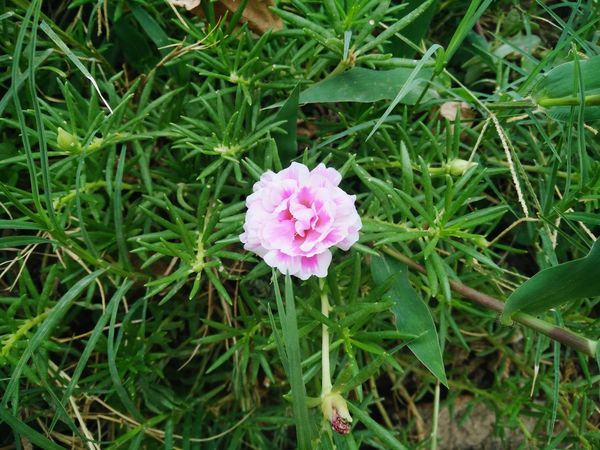 Flower Flower Pink Backgrounds Common Purslane Verdolaga Little Hogweed