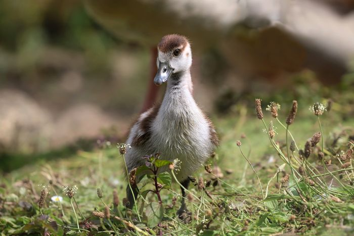 Egyptian Gosling Animal Animal Themes Animal Wildlife Animals In The Wild Bird Cygnet Day Field Goose Gosling Grass Land Looking Nature No People One Animal Plant Selective Focus Vertebrate Young Animal Young Bird