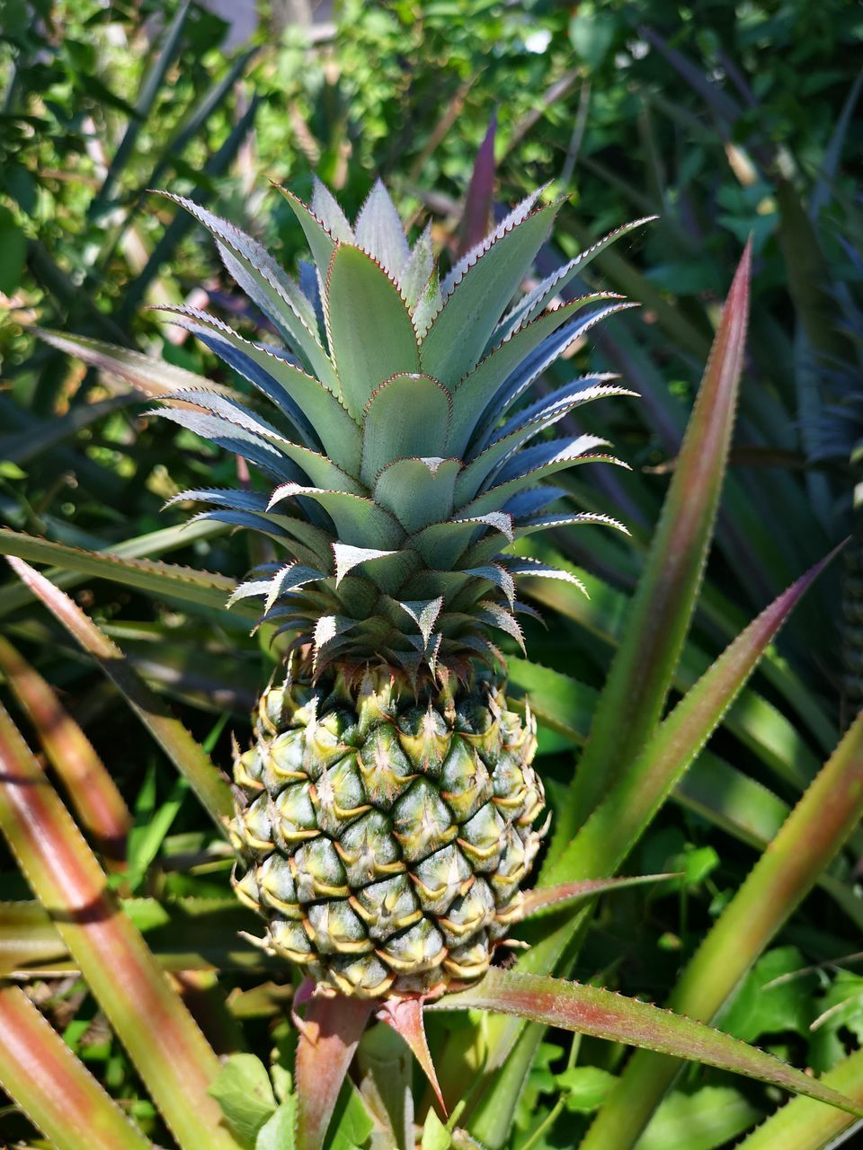 pineapple, growth, healthy eating, fruit, plant, tropical fruit, food, food and drink, freshness, green color, no people, wellbeing, nature, beauty in nature, day, plant part, leaf, close-up, focus on foreground, field, outdoors, ripe, plantation