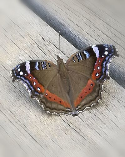 Insect Butterfly - Insect Animal Themes One Animal Close-up High Angle View Nature Beauty In Nature No People Fragility Woodden Floor Outdoors Day Taken From Smartphone Camera Nature Brown Insects  Wood Deck