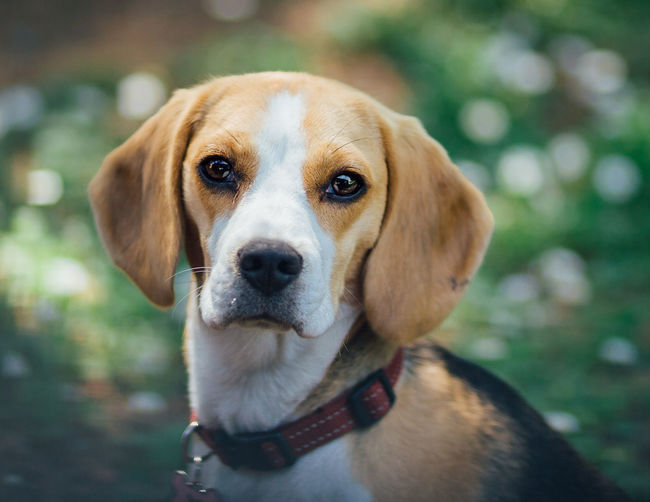 Animal Animal Head  Animal Themes Beagle Beagles  Beauty In Nature Bokeh Bokeh Photography Close-up Dog Domestic Animals Focus On Foreground Mammal Man's Bestfriend Nature No People Pet Photography  Pets Portrait Puppy Selective Focus Showcase April Fine Art Photography