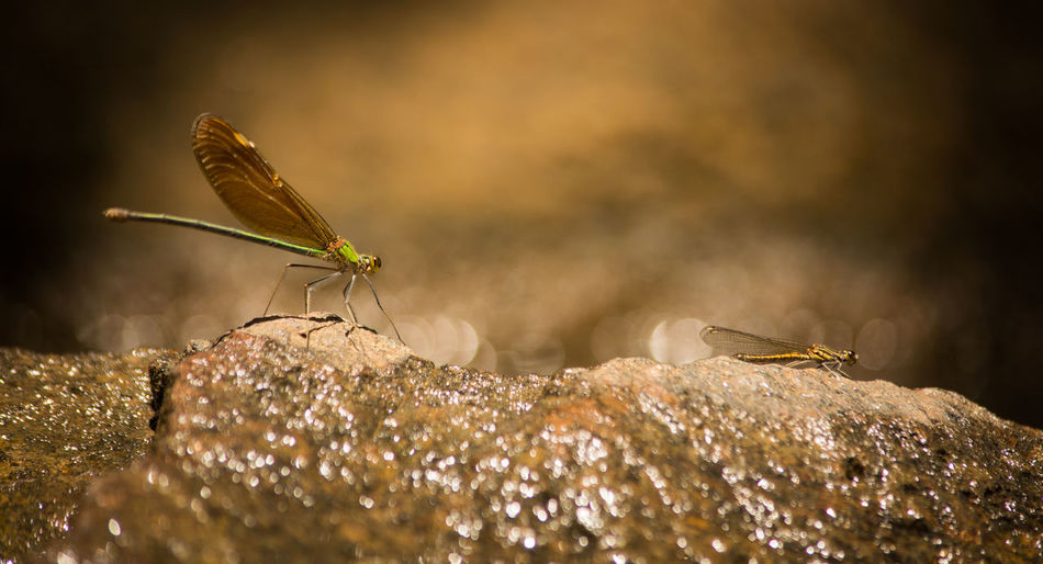 two Dragon Fly Sitting on Rock covered withwater Epiprocta Odonata Dragonfly Protodonata Animal Themes Animal Wildlife Animals In The Wild Anisoptera Beauty In Nature Close-up Damselfly Day Insect Nature No People One Animal Outdoors Perching
