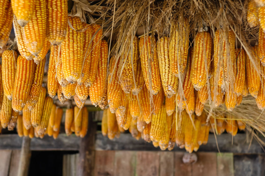 Dried corn cob hanging on bamboo Cereal Plant Close-up Corn Corn On The Cob Day Drying Focus On Foreground Food Food And Drink Freshness Hanging Healthy Eating No People Outdoors Yellow