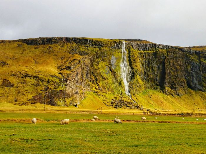 Sheep Pastoral Iceland Icelandic Landscape Cliff Waterfall Weather Climate Rural Scene Mountain Agriculture Grazing Tree Sheep Animal Themes Sky Grass Landscape