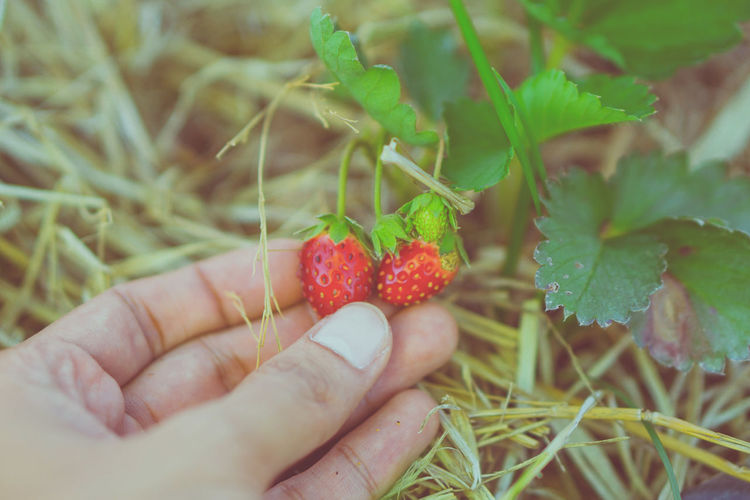 Cropped image of hand holding strawberry