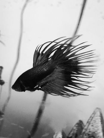 Fish Black & White Aquarium Tranquility