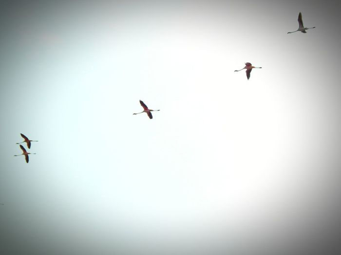 Flamingos Bird Spread Wings Flying Togetherness Teamwork Bird Of Prey Airplane Mid-air Motion Airshow